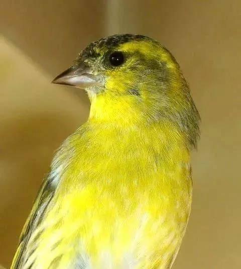 晒晒我的一对儿黄雀,一公一母,曾下蛋6个,成活一个。