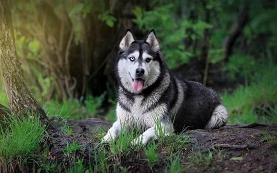 阿拉斯加犬出现肠胃疾病如何医治