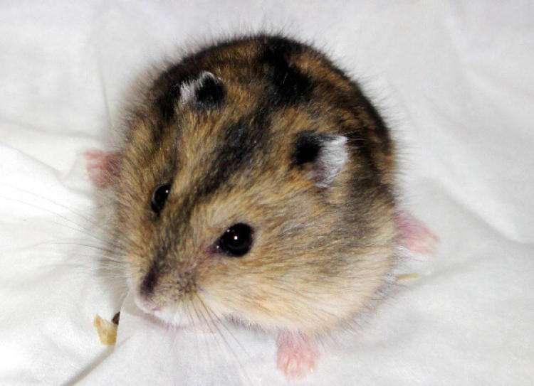 仓鼠是非常好养的小动物
