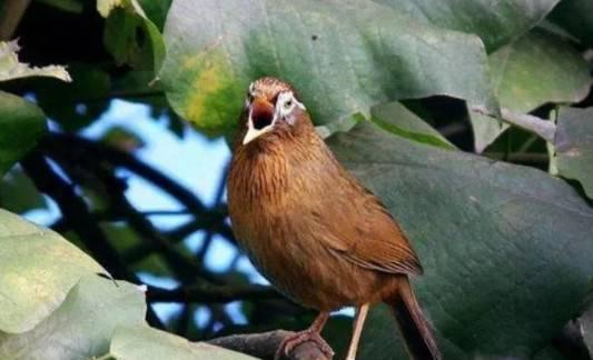 画眉鸟品质也有优劣之分,但是怎么分辨,你知道吗?