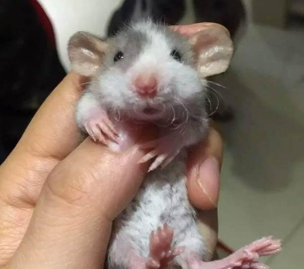 花枝鼠a_0.jpg