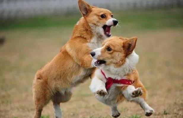狗为什么突然叫的5大原因,出现第3种,就要警惕了!
