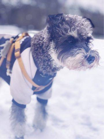 下雪啦哈哈哈,带着我家雪纳瑞犬出门玩雪啦