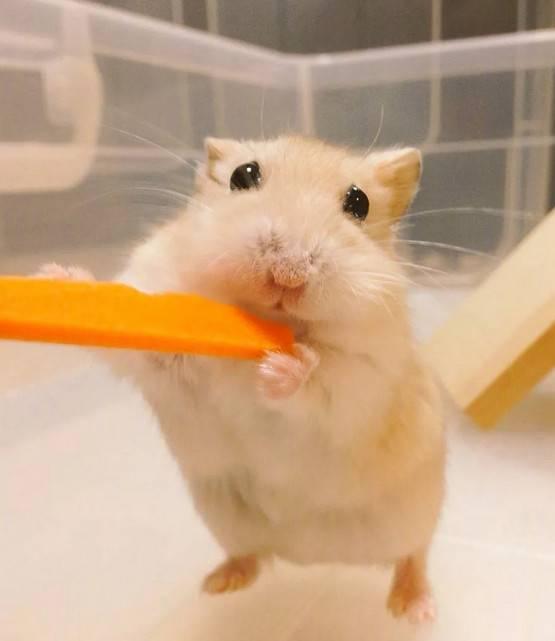 老公公仓鼠