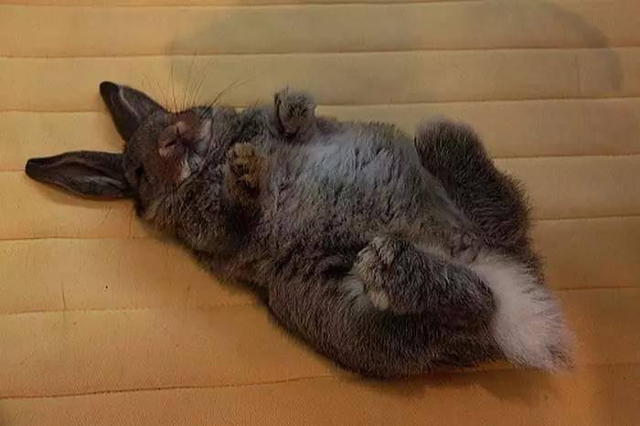 为什么兔子不喜欢摸肚子?