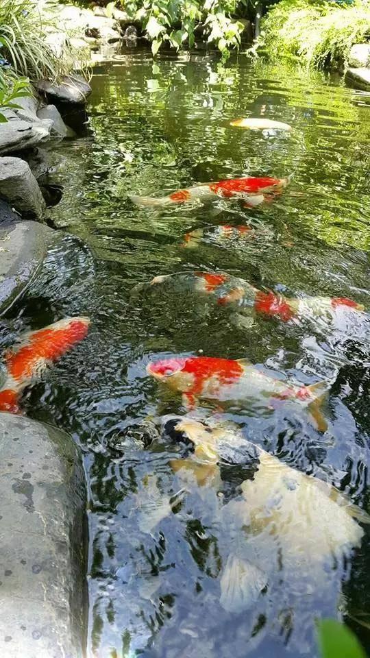 """当养鱼成为一种爱好,当你的心里开始惦记这个事儿,也就开启了一段""""没有退路""""的旅程;当厌倦了每天单调重复的日子,当被无处不在的食品安全问题困扰,相信你会想拥有这样的画面——鱼菜共生,还给生活最初的模样!"""