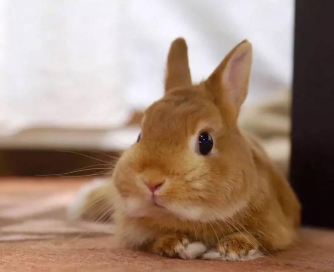 兔兔衰老的速度是人类的十倍!