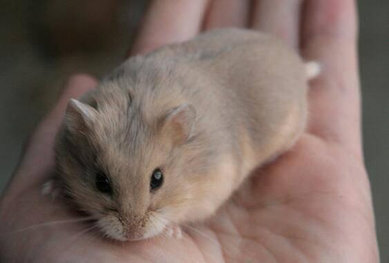 怀孕仓鼠如何养护?