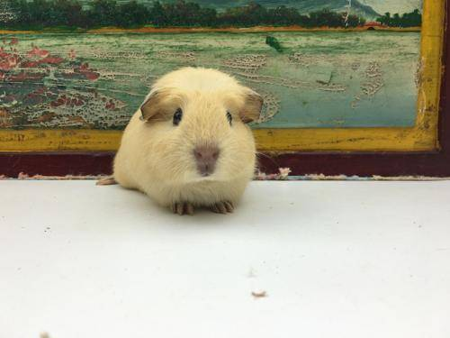 英种天竺鼠是天竺鼠最常见的品种,毛短,体格健壮。不同毛色的英种天竺鼠杂交可形成不同的变种,如纯白色、黑色、棕色等,因此这些非纯种短毛豚鼠,被毛颜色是多样的,但基本是棕黄、黑、白三种颜色,可以棕黄、黑、白相同,形成不规则的斑点,称三色豚鼠