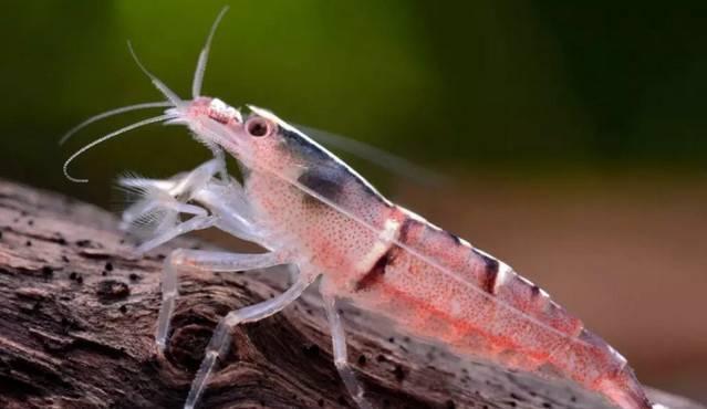 网球虾的种类及饲养大全
