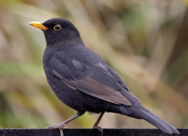 中国十大名鸟排行榜