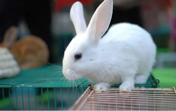 兔子为什么反复出现皮屑?