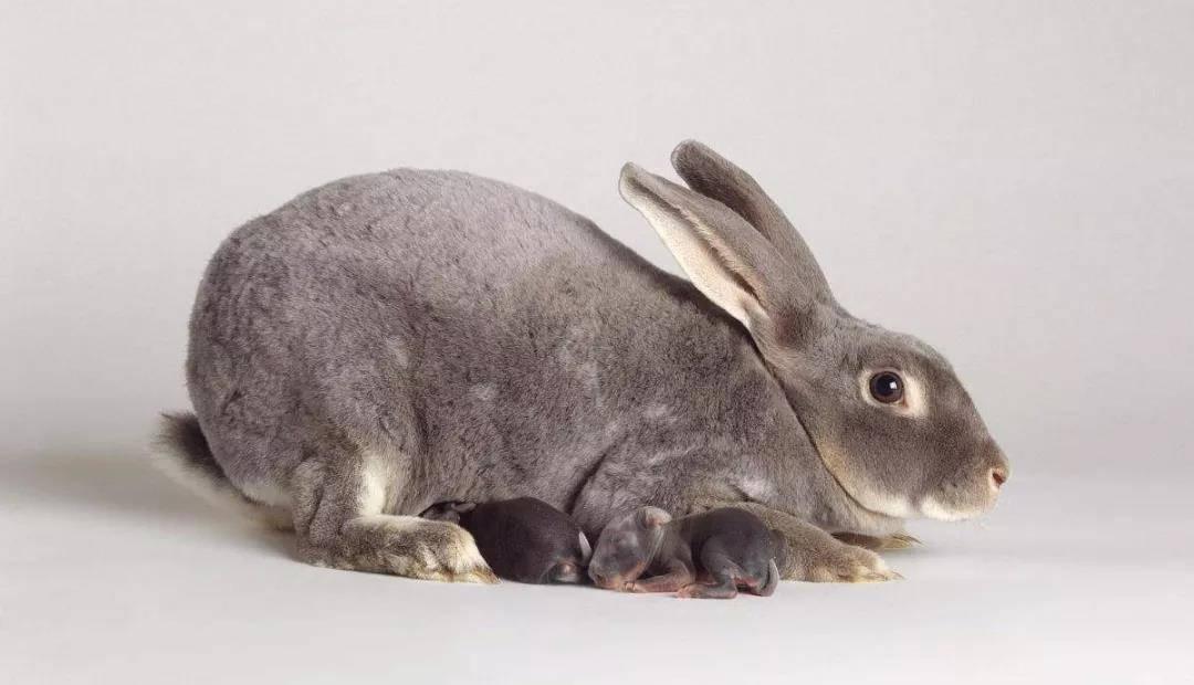 小兔子刚出生应该如何照顾
