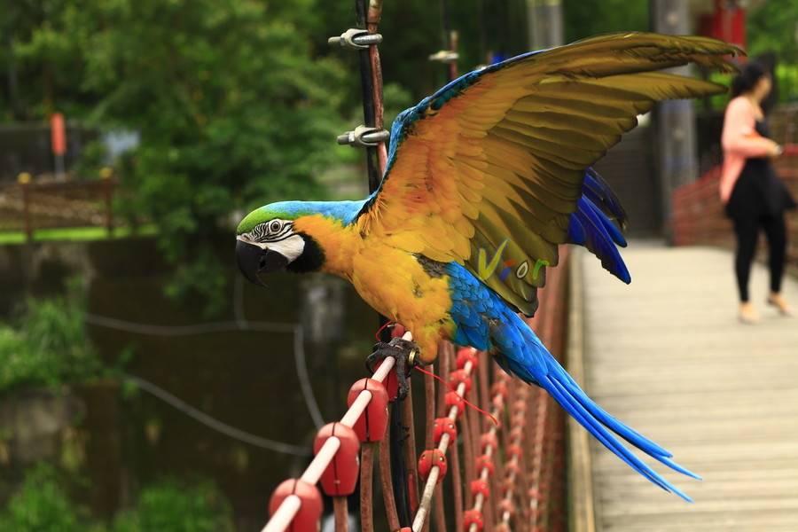 蓝黄金刚鹦鹉多少钱一只?好养么?