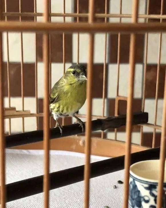 干净漂亮的小黄雀,养了快一年