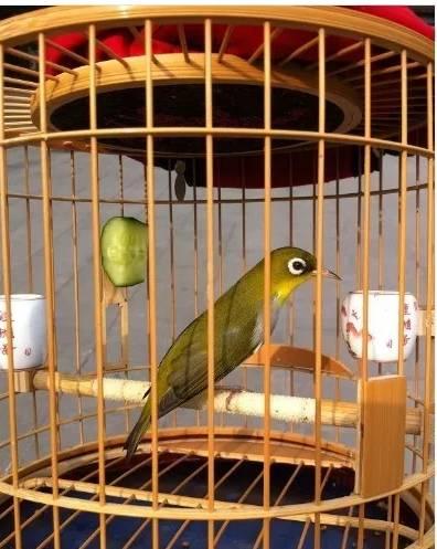 今天有空来逛逛,顺便把我家的绣带给大家欣赏一下,今年去鸟市的扁笼里挑了12只绣回来,经过再次筛选,最后留下了3只。