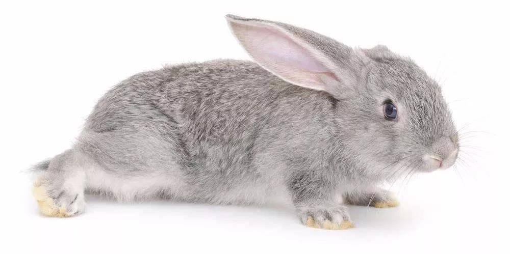 兔子脚上长疮是怎么回事?
