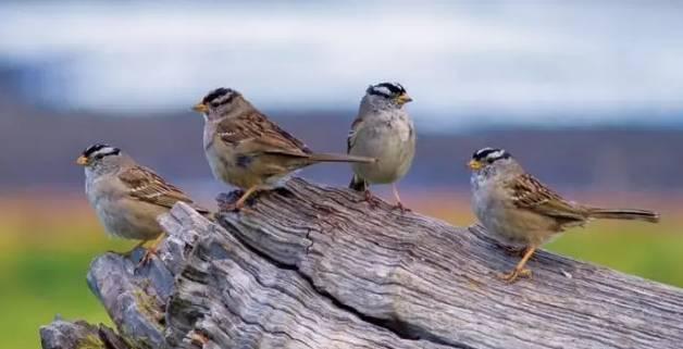 """麻雀的""""雀""""和喜鹊的""""鹊""""到底有何不同"""