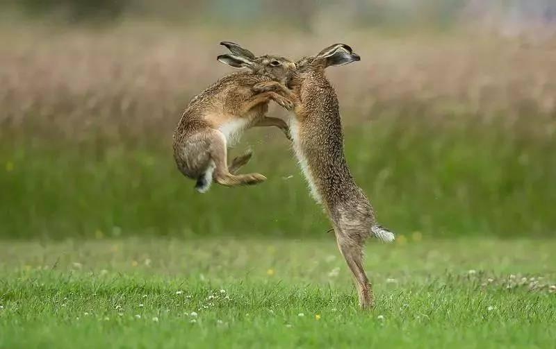 兔子为什么会打架