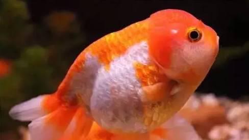 黄粉治疗什么鱼病?怎样做才有效!