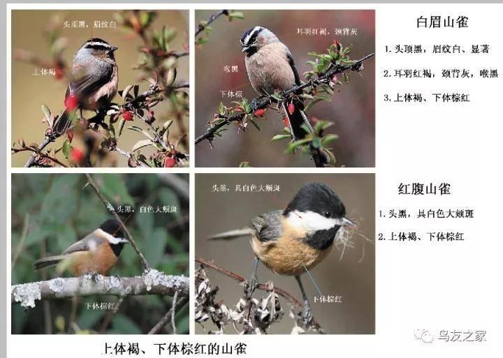 【鸟类百科】山雀类鸟种的野外识别