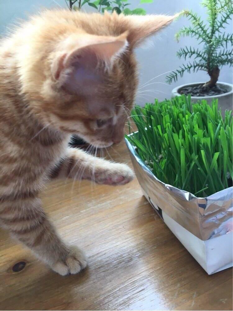 领养的小橘猫-锅巴 本以为是只高冷的猫,谁知是个粘人的小妖精。 走到哪儿跟到哪儿,睡觉必须睡人身上,到家两天就能听懂她的名字,一叫就有回应,你的高冷呢,去哪儿了?