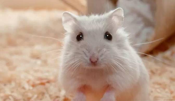 作为新手我如何挑选仓鼠呢?