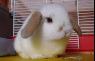 荷兰垂耳兔怎么养?可以将新鲜蔬菜作为兔子的主食吗?