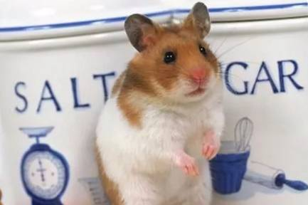 怎么辨别仓鼠的种类
