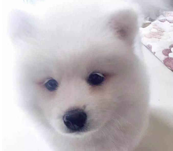 如何挑选一只健康的萨摩耶犬
