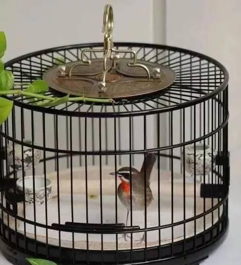 靛颏鸟怎么养?靛颏鸟之饲养自清兴始