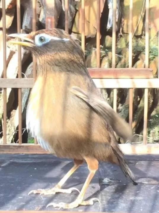 画眉鸟如何区分原毛、齐毛、老毛、山老呢?这是一个技术贴!