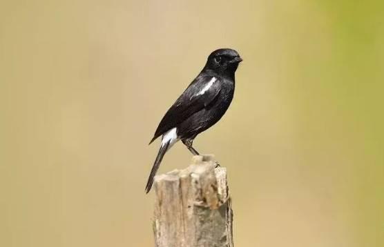 黑卷尾怎么挑选,黑卷尾选鸟入门