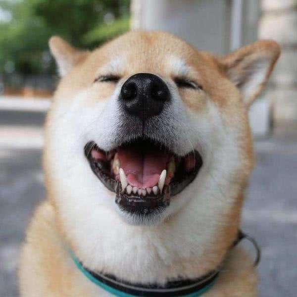 柴犬和秋田犬哪个好?可以这样来对比下