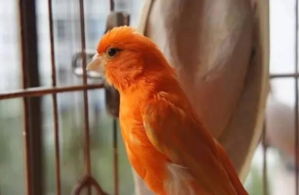 芙蓉鸟怎么养之芙蓉鸟经验杂谈
