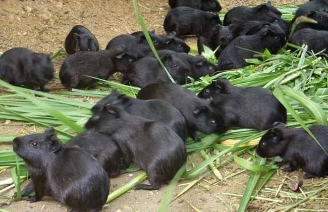 荷兰猪咬毛原因有哪些