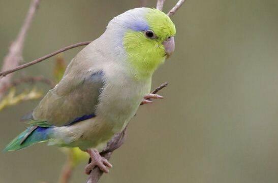 鹦鹉怎么养,以及注意事项