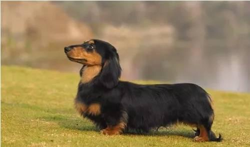 小短腿狗狗的品种