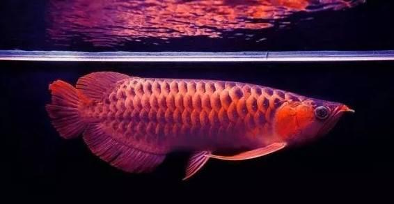 家居常见的风水鱼有哪些,十大风水鱼排名及介绍