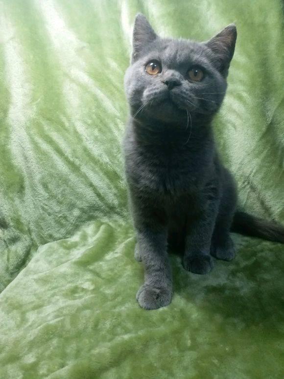 健康活泼的蓝猫妹妹,一不小心就三个月大了。