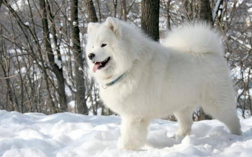 萨摩耶犬冬季吃什么对身体好