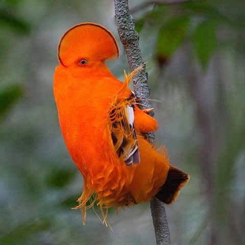 漂亮的很,不知道这迁种鸟养的活不