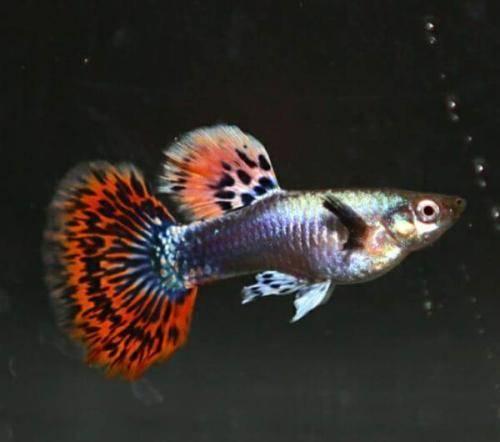 饲养和繁殖难度颇高的马赛克孔雀鱼,尾部有着如同马赛克一样的由红、黑、蓝、黄所镶嵌而成的色彩斑斓,尾鳍纹路表现为斑点纹、环形纹与闪电纹等,背鳍纹路色泽和尾鳍一致。