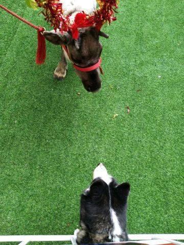小型雪纳瑞犬