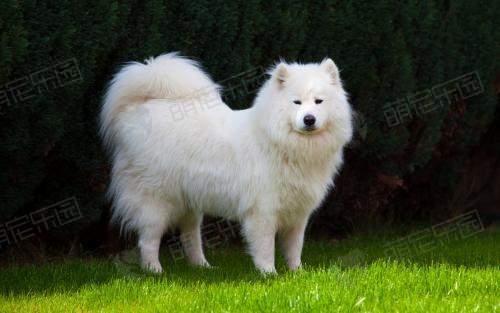 撒摩耶犬  狗狗品种介绍【图】