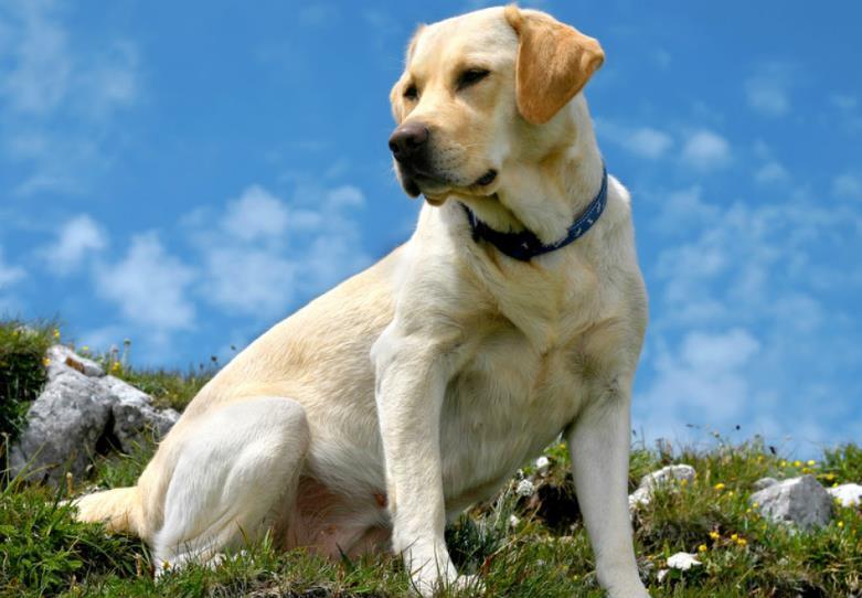拉布拉多为什么适用于导盲犬?