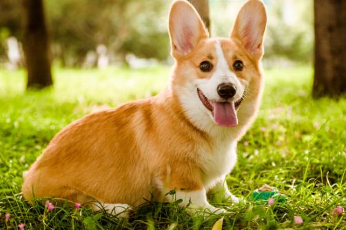 柯基属于什么犬?