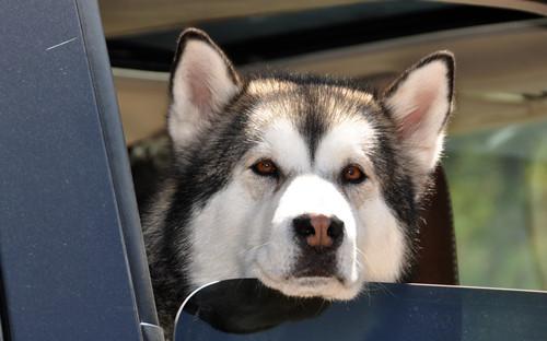 狗尿车坐椅如何除去,狗尿在车坐位上该怎样清理