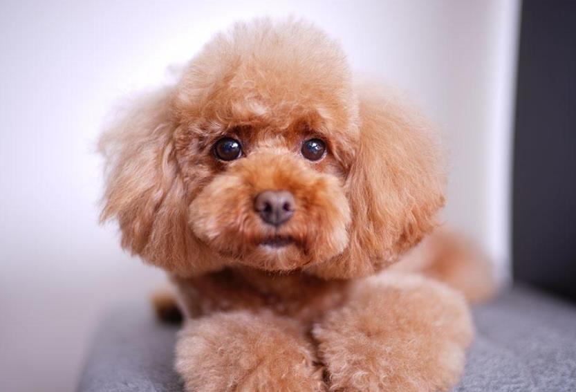 五大不养泰迪犬的理由!第一个让人脸红!