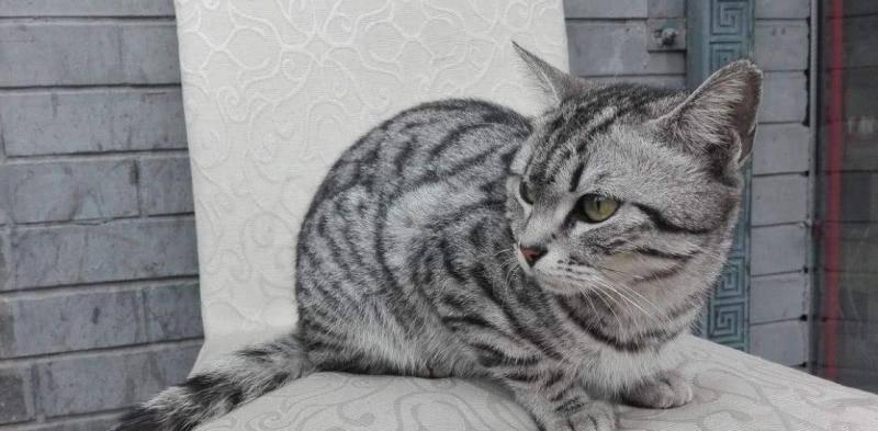 狸花猫适合做宠物猫吗